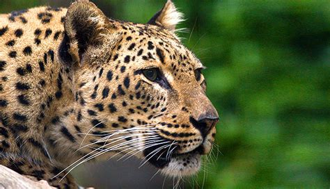 s leopard poachers nabbed with leopard skins india s endangered