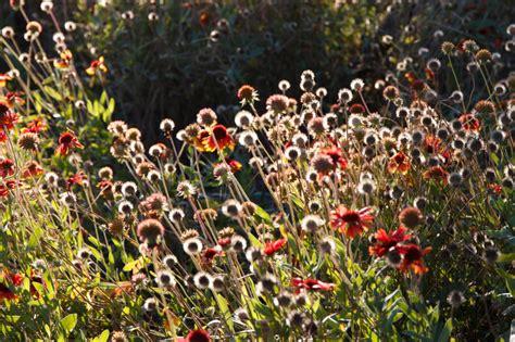 Chrysanthemen Vermehren by Chrysanthemen Aus Samen Ziehen 187 So Klappt S