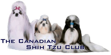 canadian shih tzu club the canadian shih tzu club
