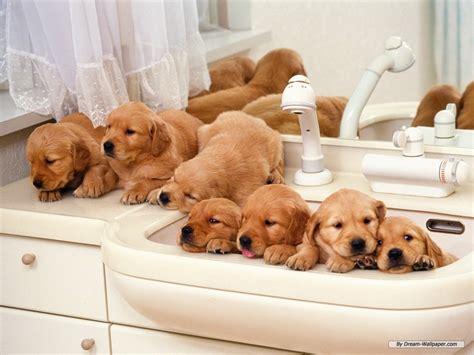 golden retriever puppiea puppies puppies wallpaper 16436743 fanpop