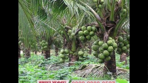 Bibit Kelapa Genjah Entok wa 0822 2083 0527 tsel harga bibit kelapa entok harga