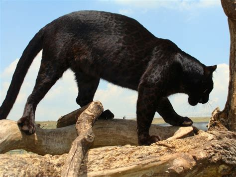what s the difference between a jaguar and what are the differences between leopard panther and a