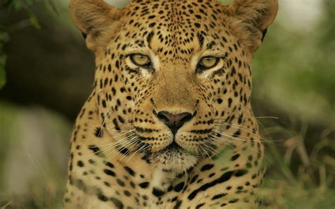 el jaguar jaguar s blog excelentes fotos de felinos taringa