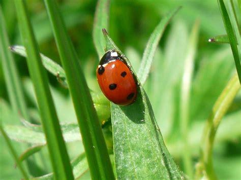 foto porta fortuna scarabeo coccinella portafortuna fortuna punti scaricare