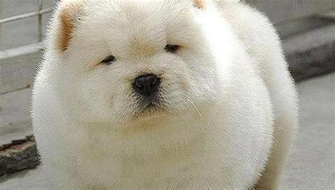 puppy that looks like a cub 10 dogs that look like polar cubs rover