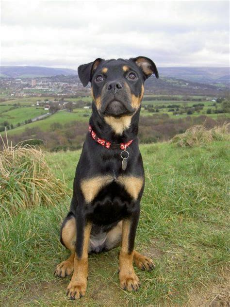 american bulldog rottweiler boxer mix 15 boxer cross breeds you ve got to see to believe