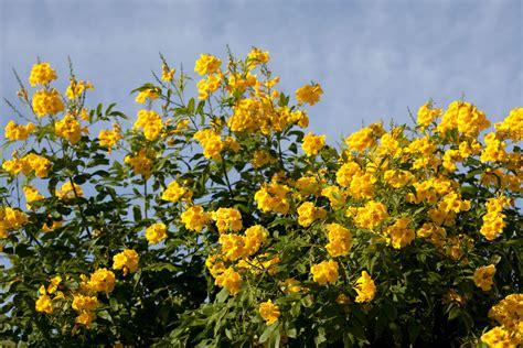 Arbustes Fleurs Rouges by Arbuste 224 Fleurs Jaunes Liste Ooreka