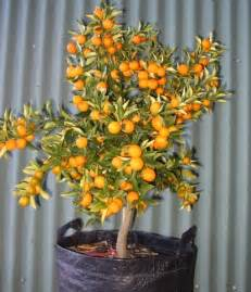 Indoor Fruit Trees For Sale - what is the fastest growing fruit in the world greenanswers