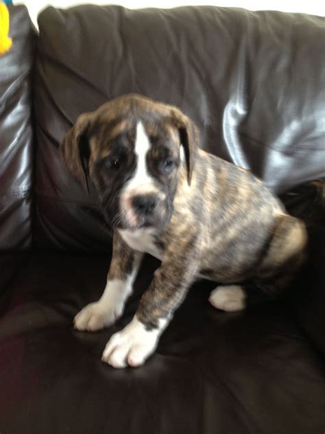 american bulldogs puppies for sale american bulldog puppies for sale peterlee county durham pets4homes