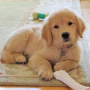 golden retriever puppies ca best 25 golden retriever names ideas on puppies golden retriever
