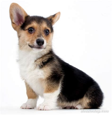 pembroke corgi puppies pembroke corgi puppy jpg