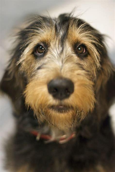 otterhound puppies otterhound www dogsandpuppies co uk sweetheart