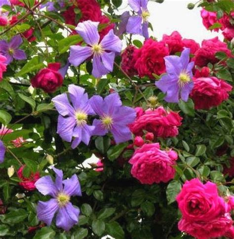 Sprei Bc Su17 17 160 122 besten roses clematis bilder auf
