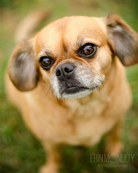 pug cavalier cross year puglier pug cavalier spaniel needs a new home read more images frompo