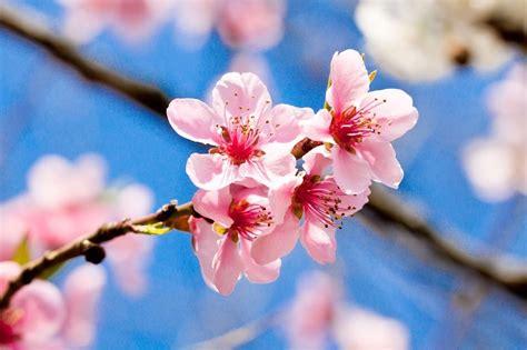 immagini fiori di ciliegio giapponese fiori di ciliegio il significato dei fiori