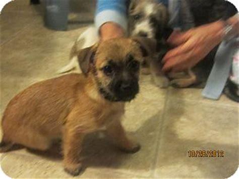 shih tzu runt runt adopted puppy cincinnati oh shih tzu terrier unknown type small mix