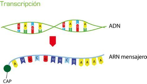 cadenas adn y arn biolog 205 a 2 arn