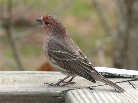 pictures of house finches bird house finch on the side of the arkansas river valley