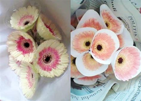 Bibit Bunga Gerbera 12 tahap cara menanam dan merawat bunga gerbera agar
