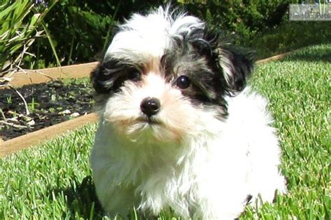 yorkie and maltese mix for sale maltese yorkie mix for sale breeds picture