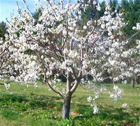 cherry tree wisconsin sweet cherry cherry bird cherry uncommon fruit