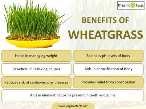 Wheatgrass Detox Diet Plan by Wheatgrass Benefits Weight Loss Mloovi