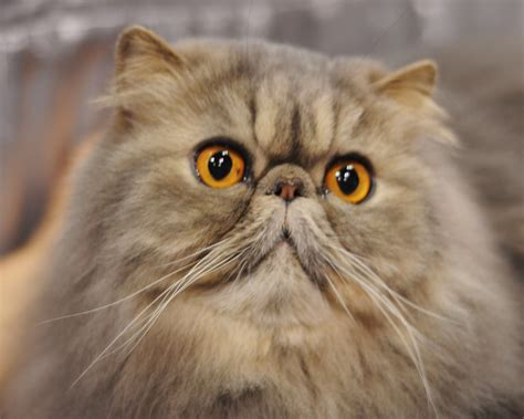 cat breed top 5 most expensive cat breeds