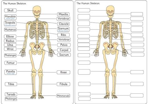 printable label the skeleton human skeleton diagram labelling sheets skool anatomy