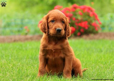 irish setter show dogs for sale irish setter meet rocco a puppy for adoption