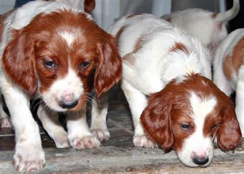 and white setter puppies setter and white setter setters k9rl