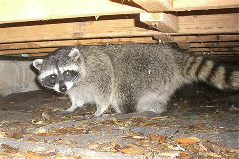 how to attract raccoons in your backyard how to keep raccoons away raccoon prevention tips