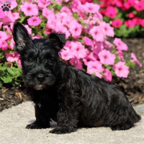scottish terrier puppies for sale in pa amara scottish terrier puppy for sale in pennsylvania