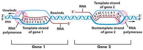 what is template strand dna world