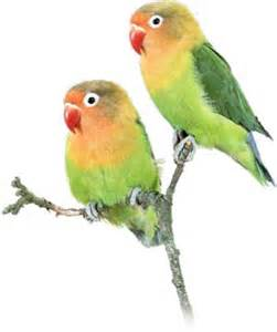 keeping lovebirds as pets cage pet care trust exercise