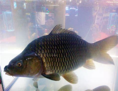 Bibit Ikan Lele Di Bandar Lung indonesia aquaculture 2014 2 ikan tahan penyakit