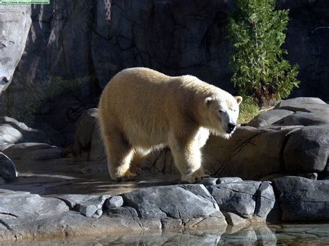 imagenes de jirafas y osos fotos de osos pardos y blancos i
