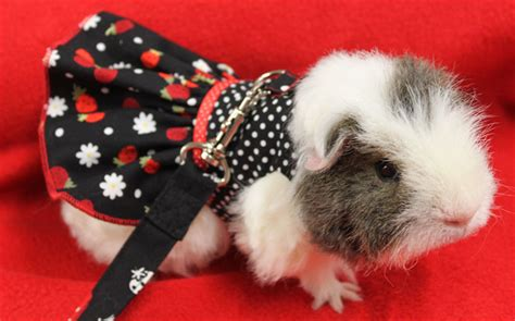 Miniatur Pet Polisi strawberry and polka dot harness dress for your guinea pig rat or small pet miss