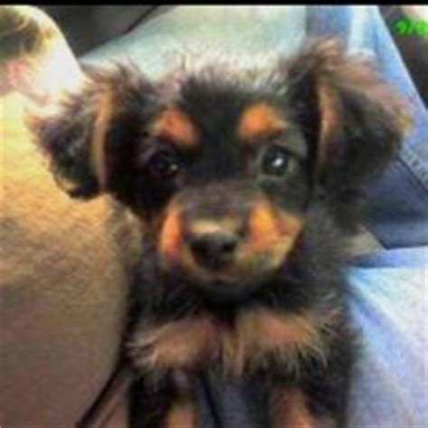 short haired dorkie mixes 1000 images about dorkie on pinterest yorkie dachshund