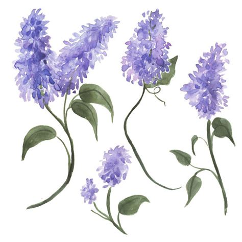 lilac clipart watercolor lilacs clip by digitalpresscreation on etsy