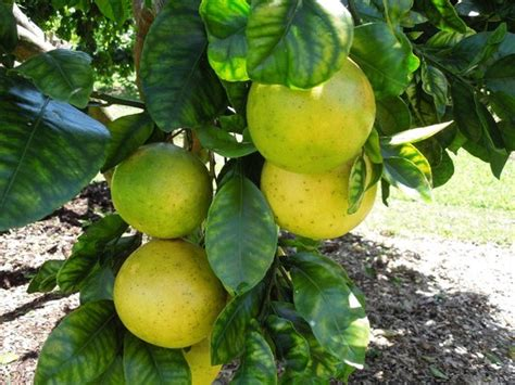 fruit trees hawaii fruit trees on property picture of the hawaiian b b
