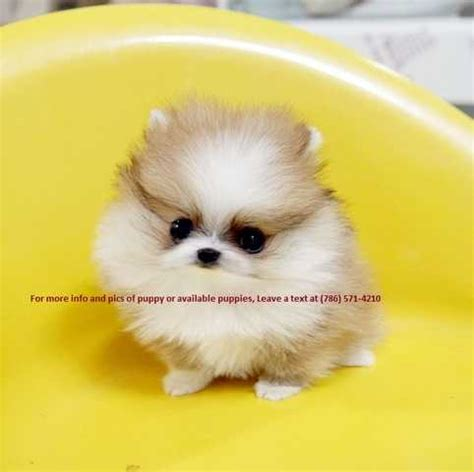pomeranian puppies illinois affectionate teacup pomeranian puppies for sale for sale adoption from rockford il