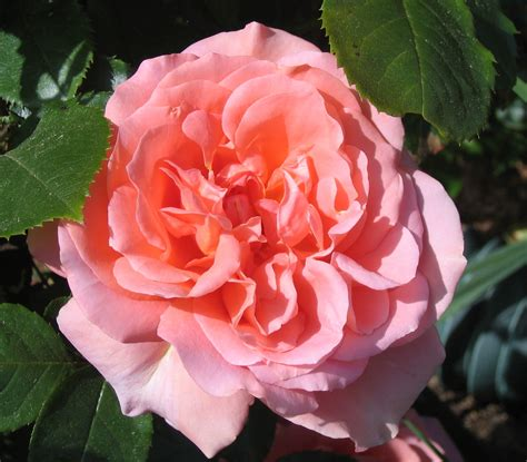Sweet Fragrance bullet proof roses in our garden the journal