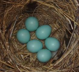 what color are bluebird eggs springfield plateau egg shell white