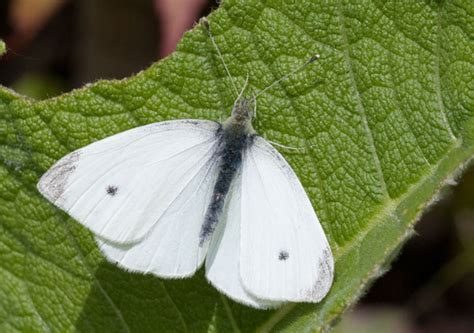 Small White Butterfly Conservation Small White