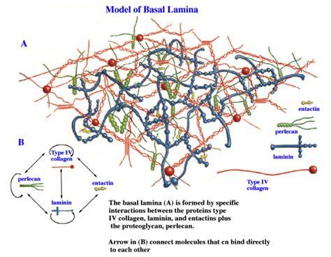 laminin basement membrane natalie s science