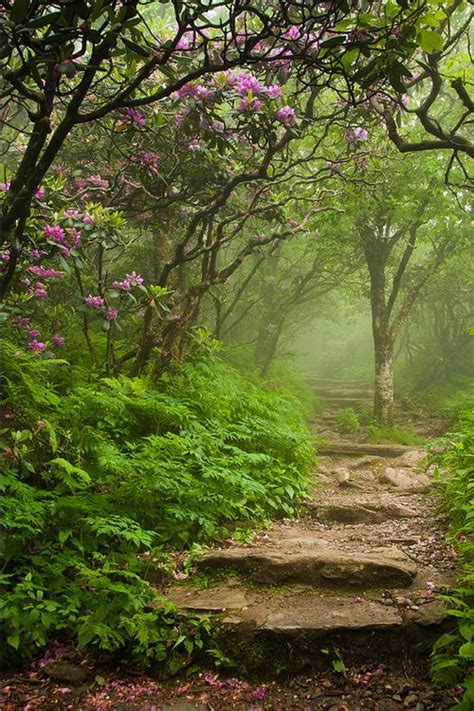 craggy steps blooming catawba rhododendrons at a foggy