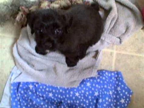 7 week yorkie puppy 7 week yorkie poo puppy