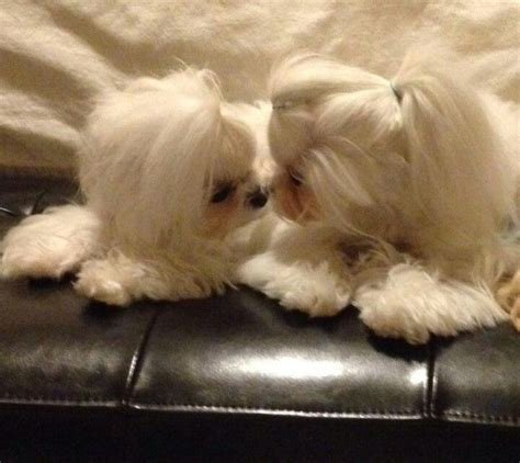 how to get a ponytail on a poodle 1033 best images about maltese dogs love
