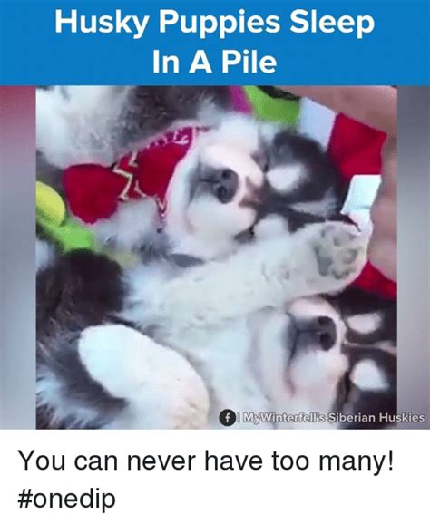 how many puppies can a husky 25 best memes about husky puppies husky puppies memes