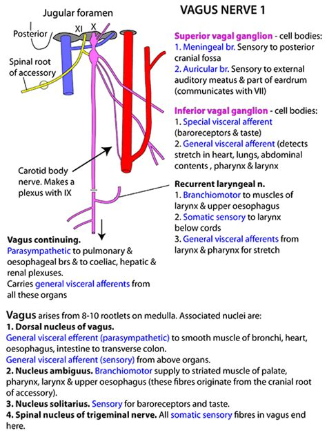 diagram of the vagus nerve instant anatomy and neck nerves cranial x vagus